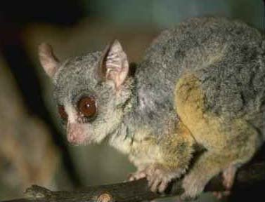 photograph of bushbaby